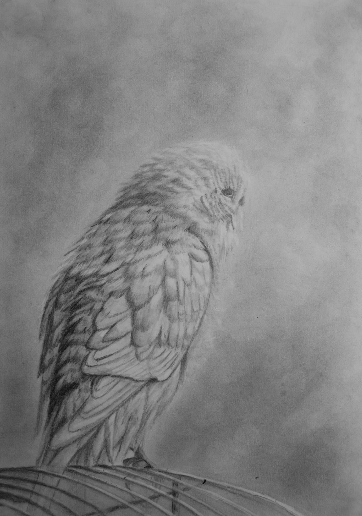 Wellensittich zeichnen mit Bleistift